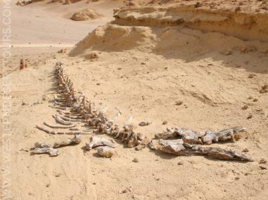 Whale skeleton in the Wadi al-Hitan UNESCO World Heritage Site