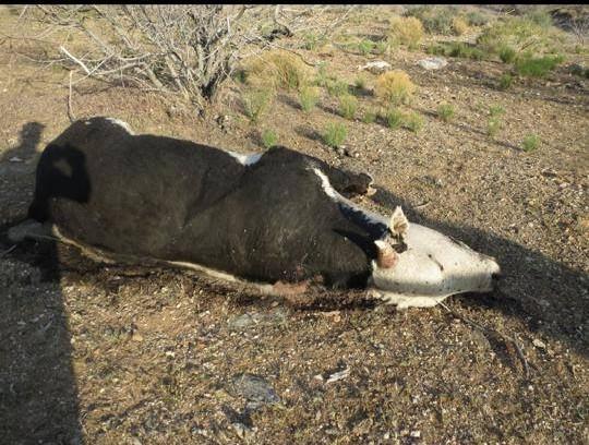 bundy cows 6