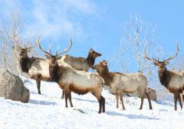 elk-hunting-1