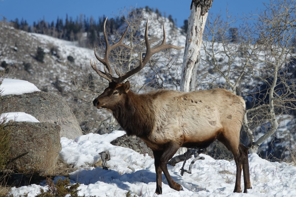 elk-hunting-wy