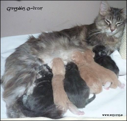Greygables O-litter 4 days