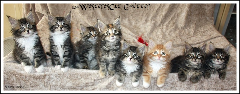 WesterosCat E-litter 7 weeks old