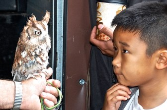 A young gentleman captured the gaze of a screech own form Tom Ricardi's Birds of Prey show at the WSC Openhouse ( photo taken by Deb Williams.)