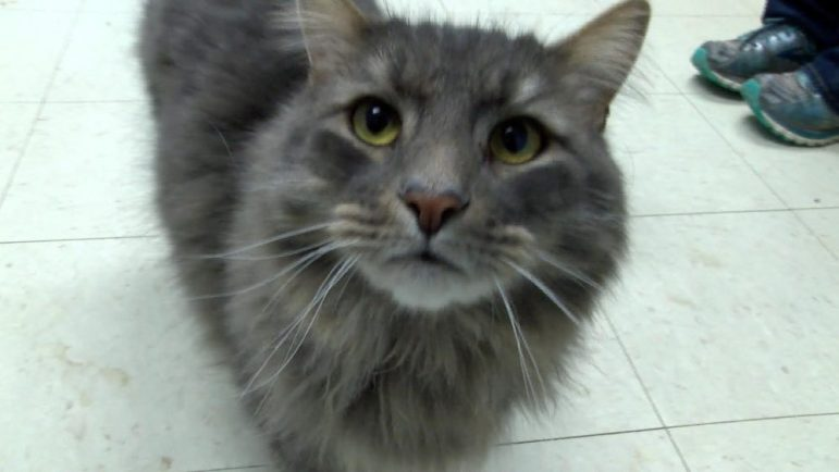 Pet Of The Week Toby Is A Maine Coon Mix Up For Adoption Westfordcat News Online