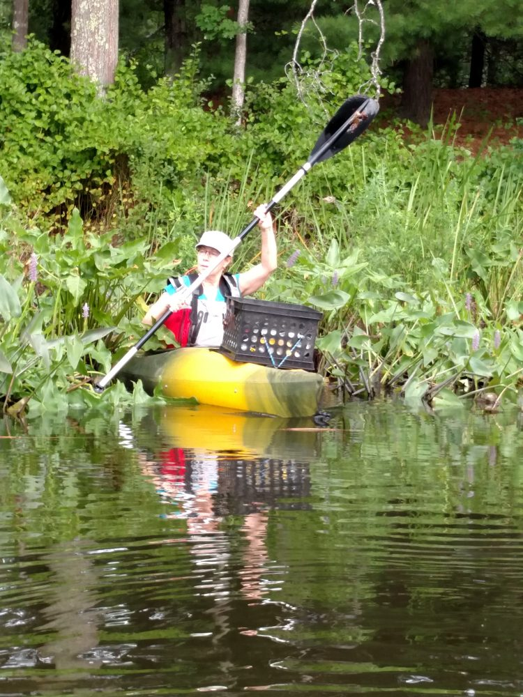A volunteer pulls the invasive water chestnut plants growing around the Stepinski well. PHOTO BY CAROL GUMBART