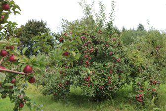 The red apples pop against the green leaves. PHOTO BY JOYCE PELLINO CRANE