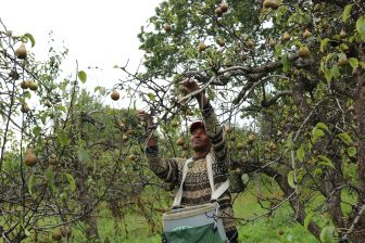 Ricky Beezer of Dracut pulls a pear from its branch. PHOTO BY JOYCE PELLINO CRANE