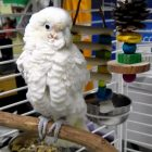 Casper the cockatoo is available for adoption. PHOTO BY PATTY STOCKER