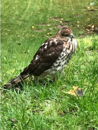 This Cooper's Hawk landed in a yard on Saw Mill Drive in Westford and appeared to be incapacitated. The town's animal control officer tried to save its life, but the hawk died overnight on Oct. 4. PHOTO BY DANNY HURD
