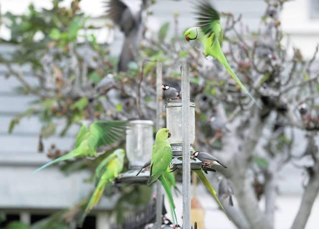 Researchers: Kauai's invasive parakeet population declines