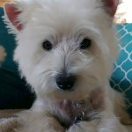 Westie Rescue Of California Adoptable Westies