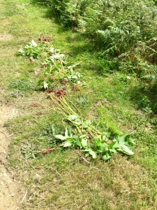 Pulled Himalayan balsam on Kilkhampton Common Cornwall Westland Countryside Stewards Charity owned land