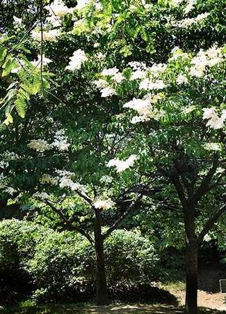 https://i2.wp.com/www.westmountmag.ca/wp-content/uploads/2016/07/japanese-lilac_325-2_westmountmag.jpg