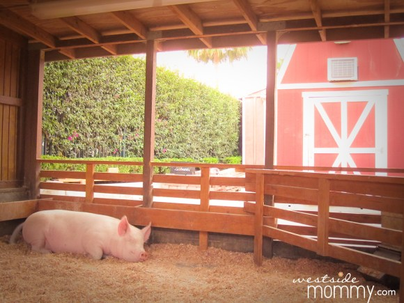 napping pig in barn at Centennial Farm
