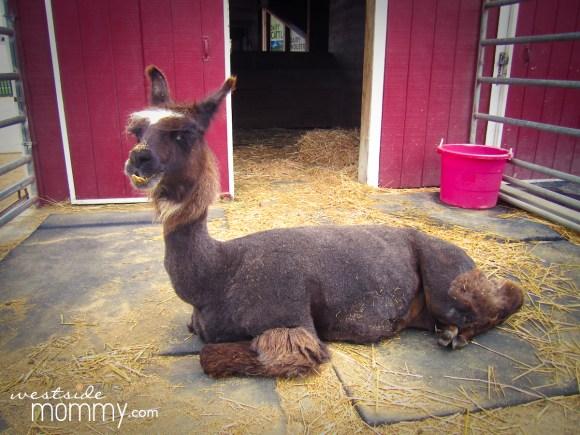 This llama was my daughter's favorite animal.