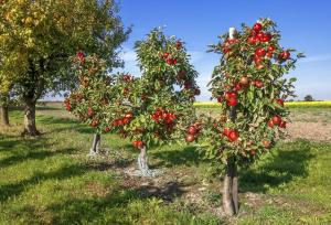 fruit trees years to fruit apple trees