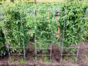 Tomatoes - Pruning caged tomatoes