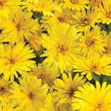 Plant of the week - marigold yellow