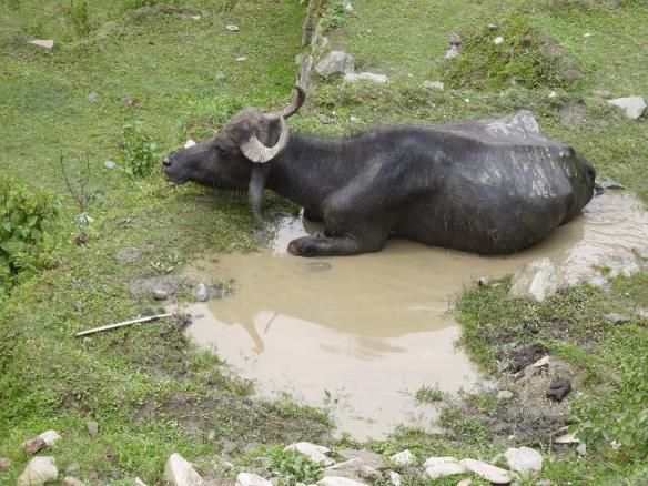 Die Rinder mit den halbmondförmigen Hörnern liegen gern in Pfützen und fressen auch Schilf