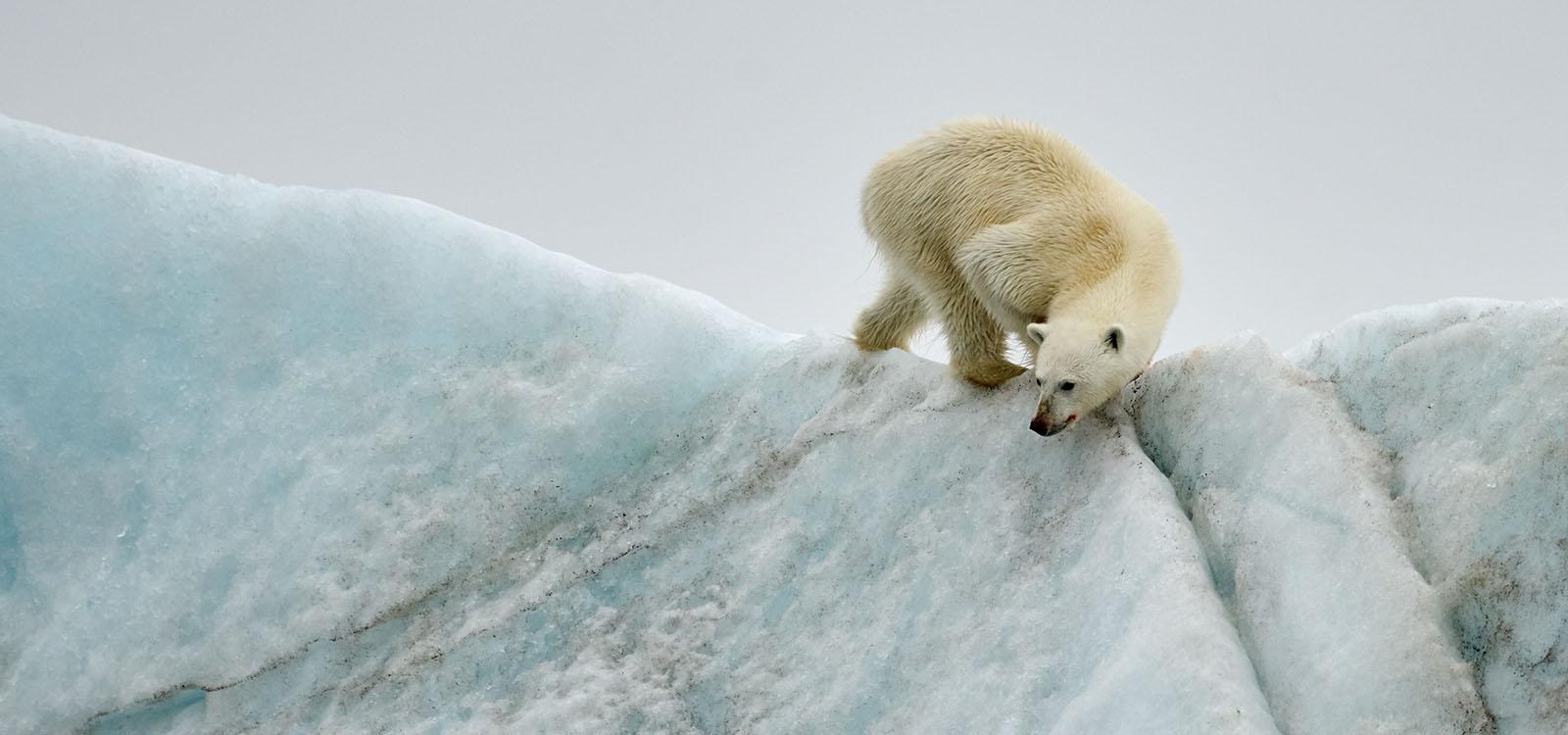 ours sur un iceberg
