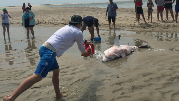 St. Pete family helped save beached shark in Massachusetts_27281