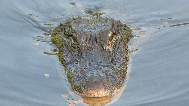gator attack_1534787253935.jpg.jpg