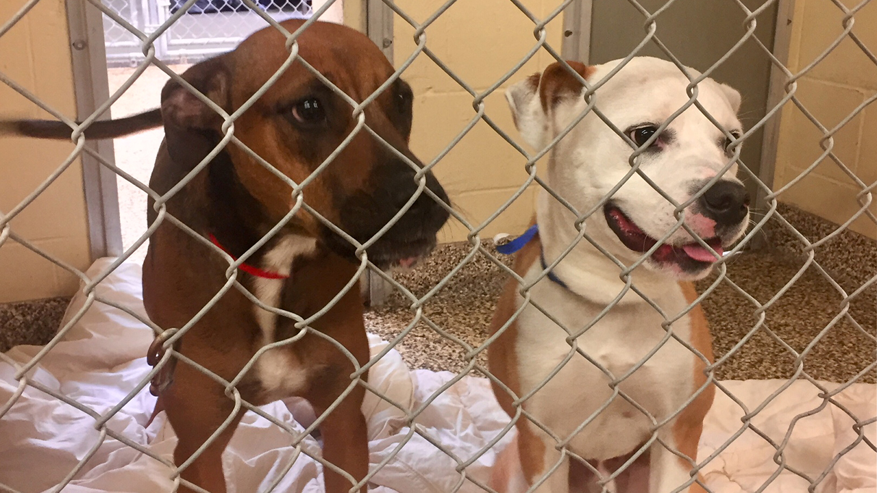 dogs at Humane Society Tampa Bay shelter full