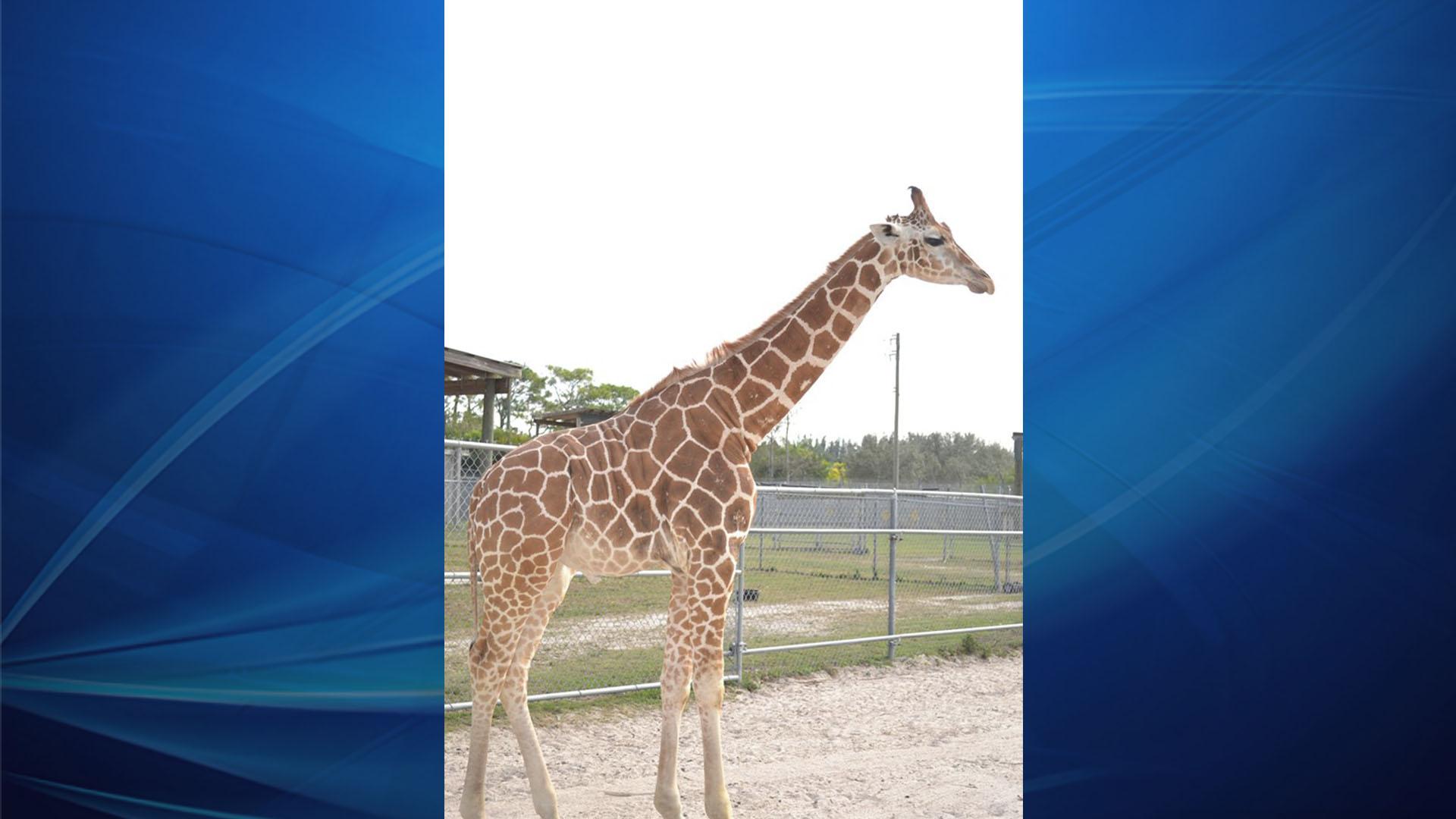 Giraffe_1560295748521.jpg