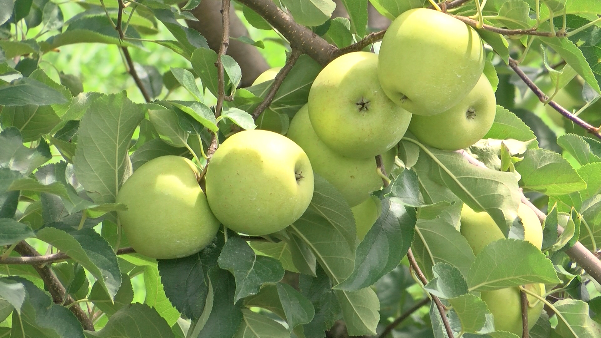 apples_1471832238131.jpg