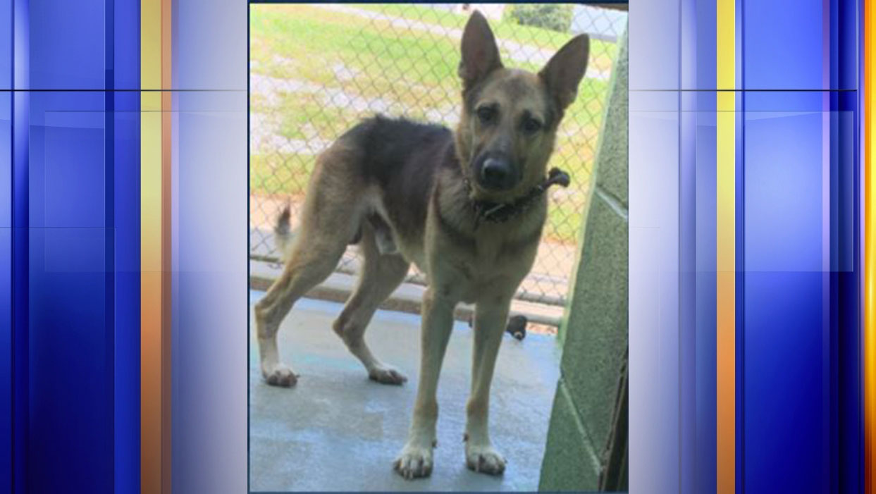"""As of Thursday, Sept. 17, authorities say""""Boomer,"""" a German Shepherd in need of medical treatment who was stolen from the Campbell County Animal Shelter on Friday, Sept. 11, has been safely returned to his caretakers. (Photo: Courtesy Campbell County Sheriff's Office)"""