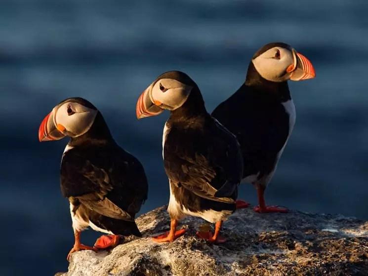 Atlantic puffins, Langanes peninsula, Iceland