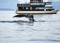 The tale of a whale coming above water in front of a small cruiser.