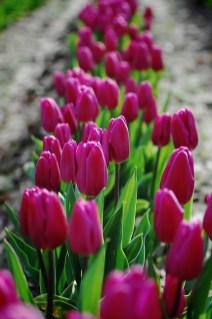 skagit-tulip-festival10
