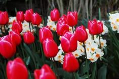 skagit-tulip-festival13