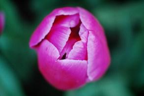 skagit-tulip-festival16