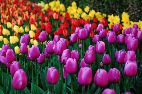 skagit-tulip-festival18