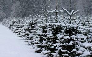 bellingham tree farm