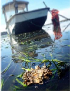 One of Drayton Harbor Oyster Company's Pacific Oysters rests on Drayton Harbor's waters. Photo credit: Steve Seymour.