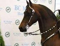 BC Morgan Horse Show in Lynden @ Northwest Washington Fairgrounds- Equine Event Center