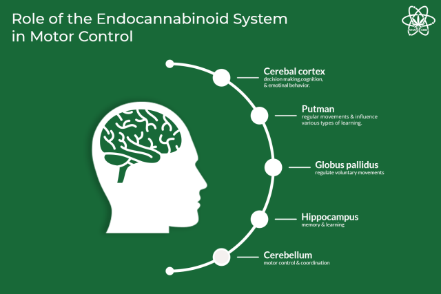 Role-of-the-endocannabinoid-system-in-motor-control