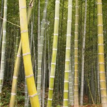kyoto-day-4-bamboo-grove_4103570479_o