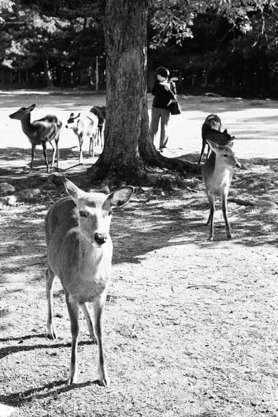 deer-in-nara_4116416773_o