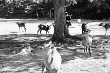 deer-in-nara_4117185910_o