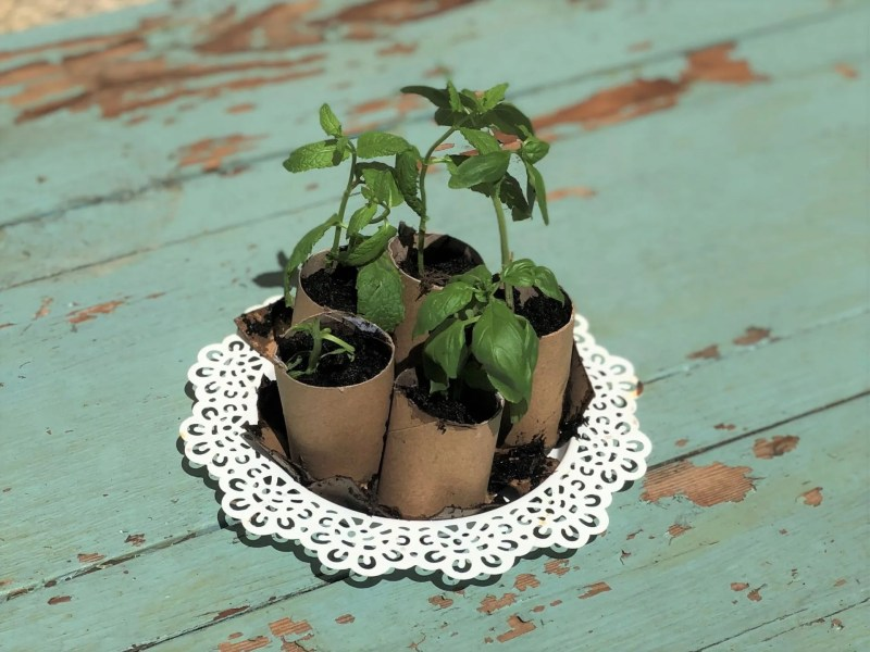 herb cuttings in loo roll tubes