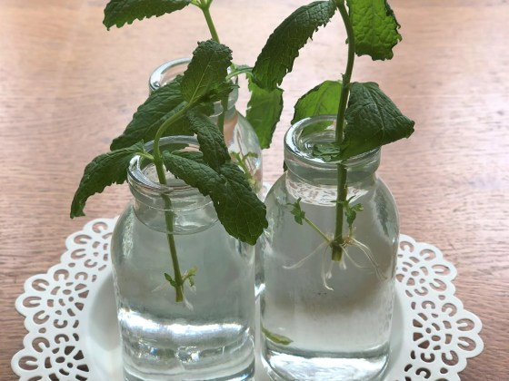 mint cuttings in water