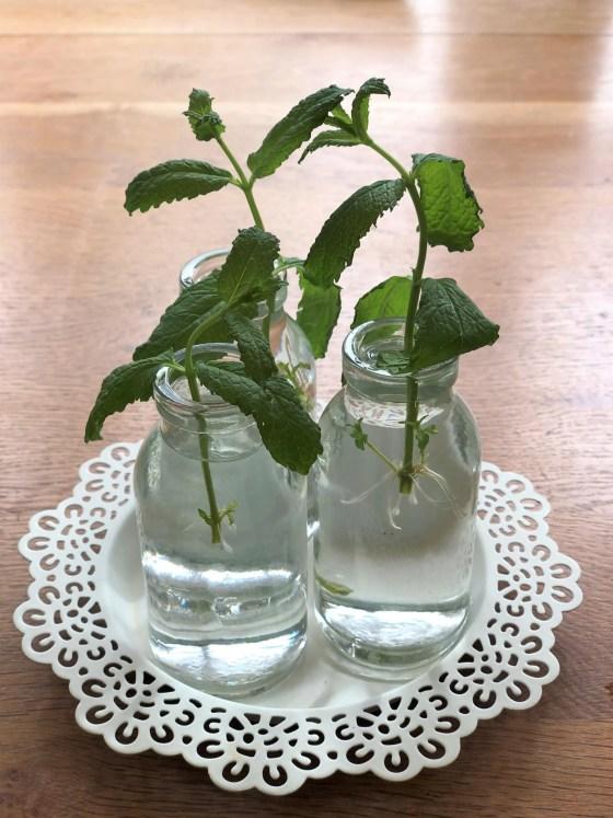 mint cuttings in water