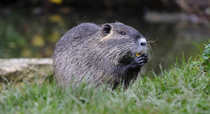 animal symbolism beaver - beaver meaning beaver totem