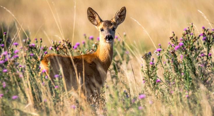 animal symbolism deer meaning