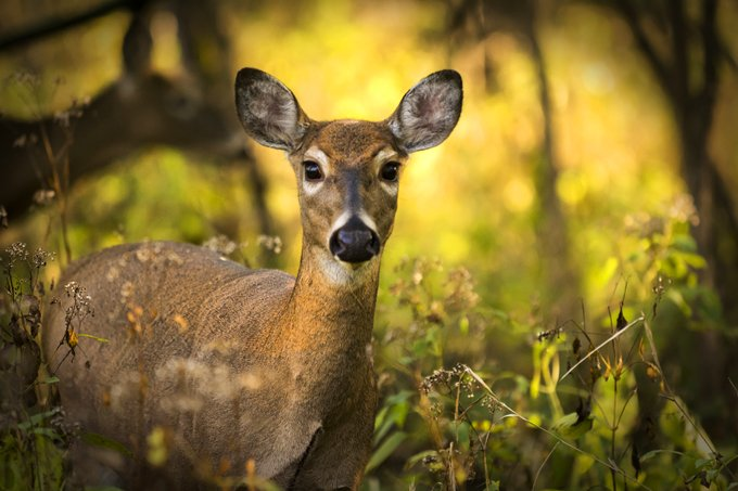Animal Symbolism Deer Meaning On Whats Your Sign