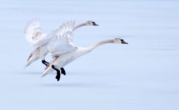 animal symbolism goose meanings